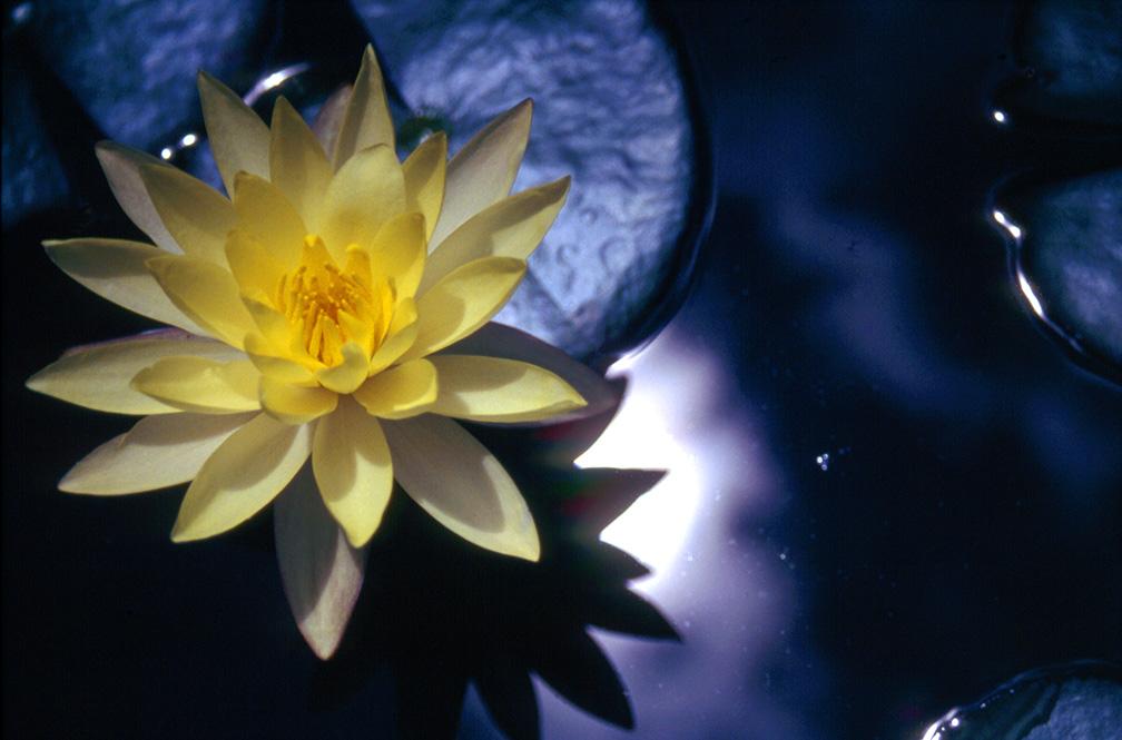 Flor de Loto - fotografía Julio Hernán